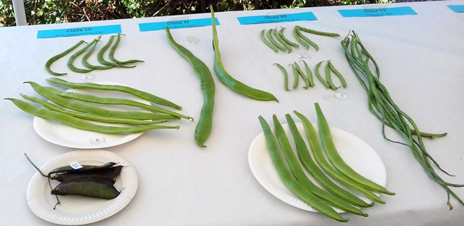 Beans – traditional types and more unusual varieties.