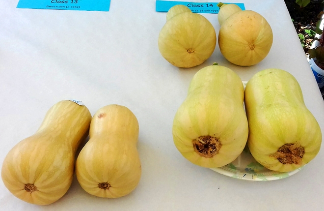 Butternut Squash – very good-looking specimens.