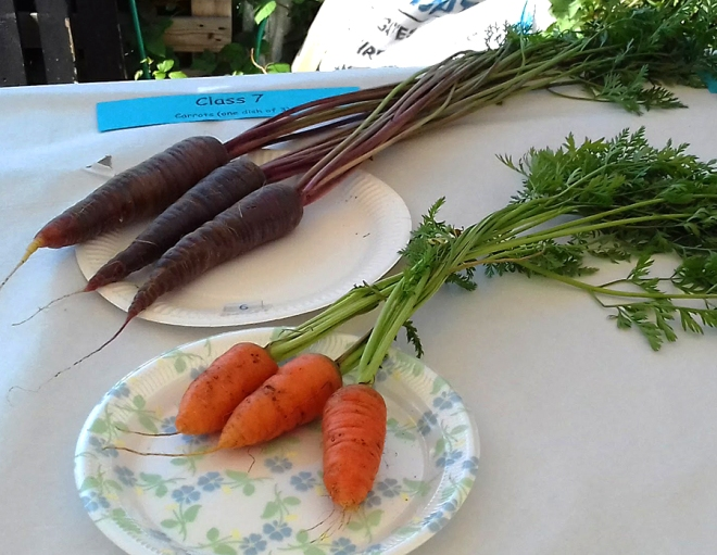 Traditional Dutch purple carrots that later gave way to the orange varieties we mostly eat today.