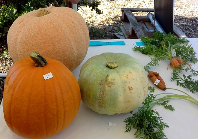 Three plump pumpkins. A couple of carrots in the 'Ugliest Vegetable' class getting a look-in too.