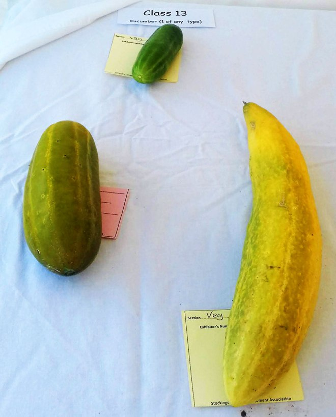 Three cucumbers keeping a safe distance from each other.