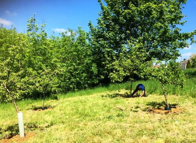 Hacking away at the turf around the trunk of a fruit tree to create a circle free of grass and weeds.