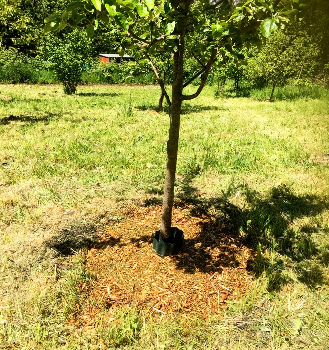 Job done. This tree has a nice circle of mulch around it which will retain moisture and aid growth.