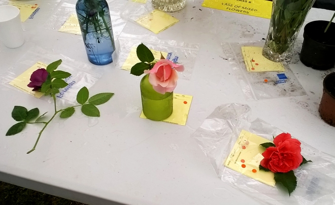 Single Rose Category: The 'Angel' rose in bottom right corner took first prize.